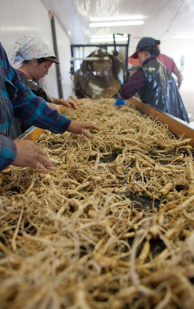 Farmer's Hand Picking Kwaliteit Wisconsin Ginseng